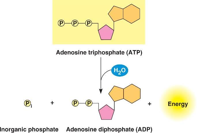 Inorganic Phosphate atp_hydrolysis....