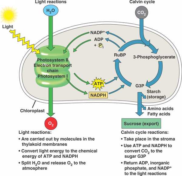 Calvin cycle review worksheet answers