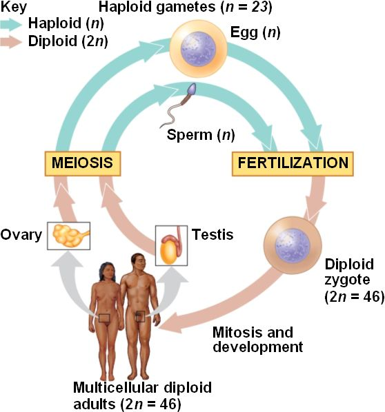 relationship between gamete zygote fertilization cycle