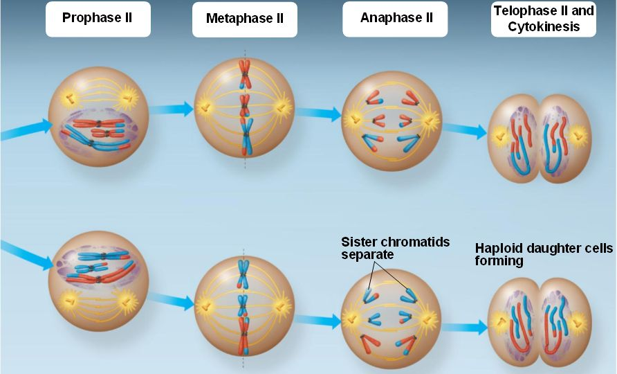 meiosis and mitosis. Meiosis+and+mitosis+