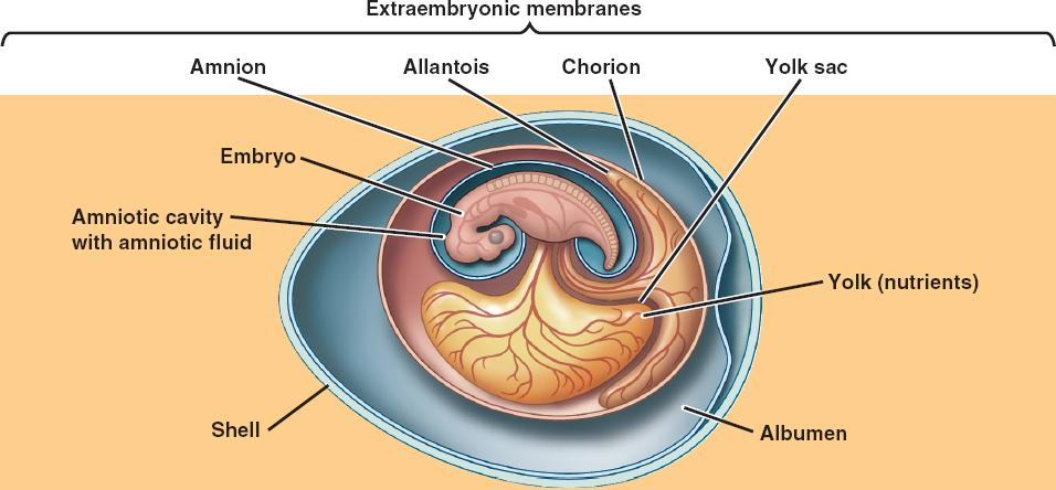 amniotic html 34 24amnioteegg jpg : amniotic egg diagram - findchart.co