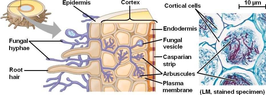 mycorrhizae-endo.html 37_12Mycorrhizae-endo.jpg