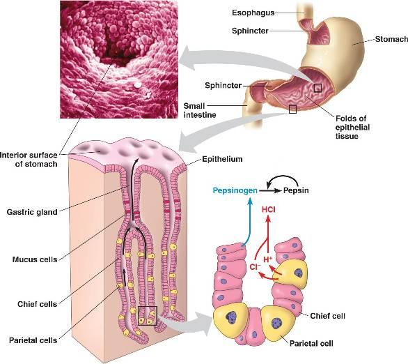 Protein digestion diagram