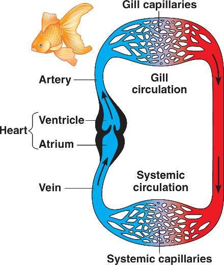 Heart Fish Html 42 04vertcirculatorysyst A Jpg