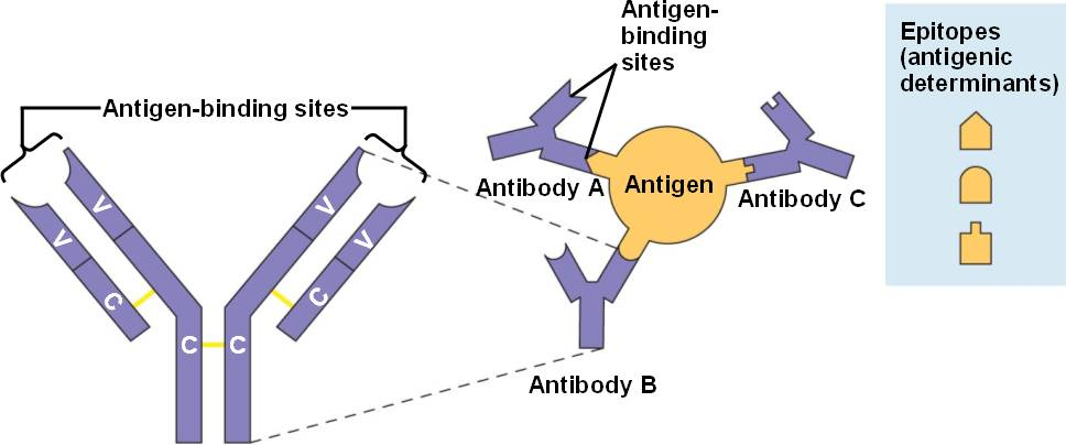 relationship between antigens and antibodies definition