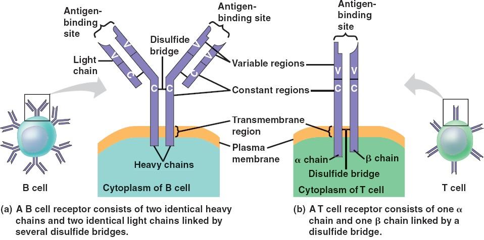 Antigen receptors on V Antigen