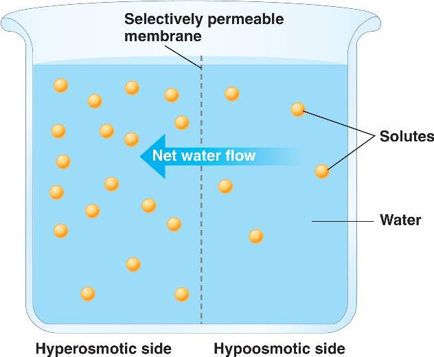 Selectively Permeable Membrane Osmosis