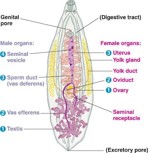 Flatworm Anatomy More Information