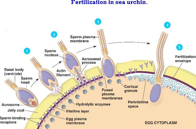 A egg sperm