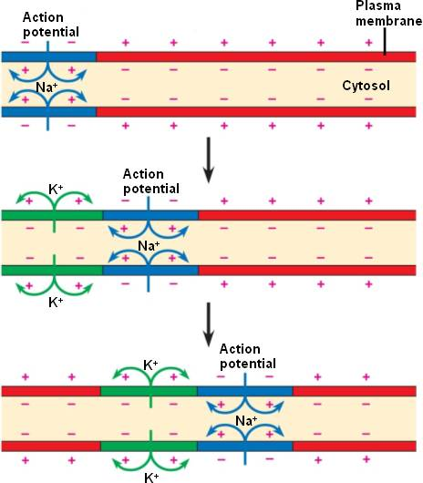 Membrane and action potential