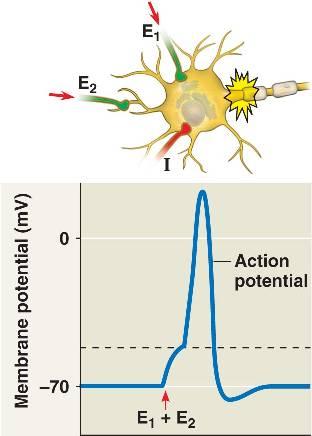 plasticité neuronale définition