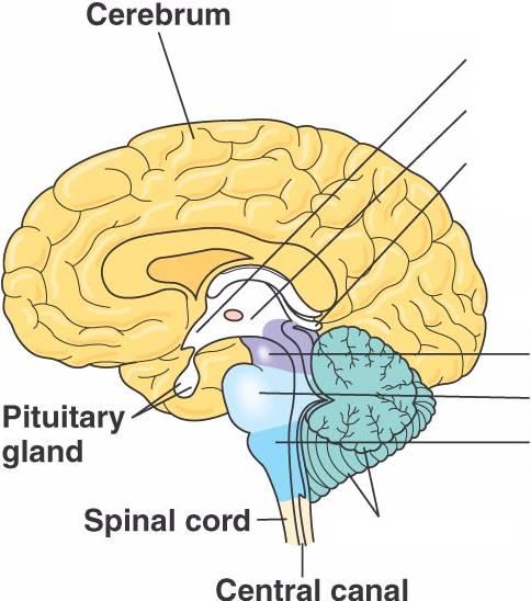 brain_cerebrum.html 49_UN04InTextCerebrum-L.jpg