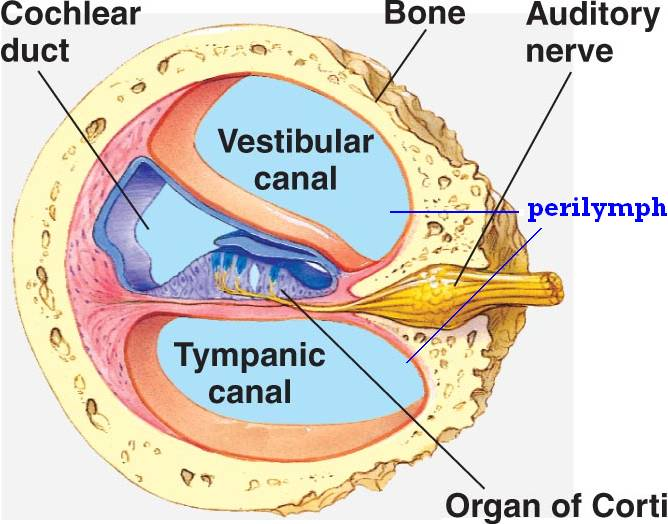 Anatomy of cochlea