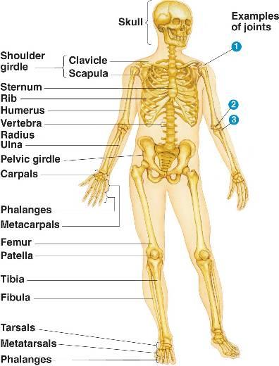 Skeletonml 5034ahumanskeleton Lg