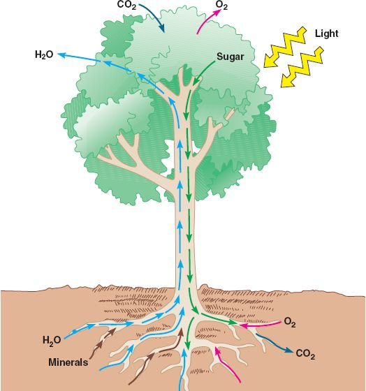 Image result for nutrients transported in plants