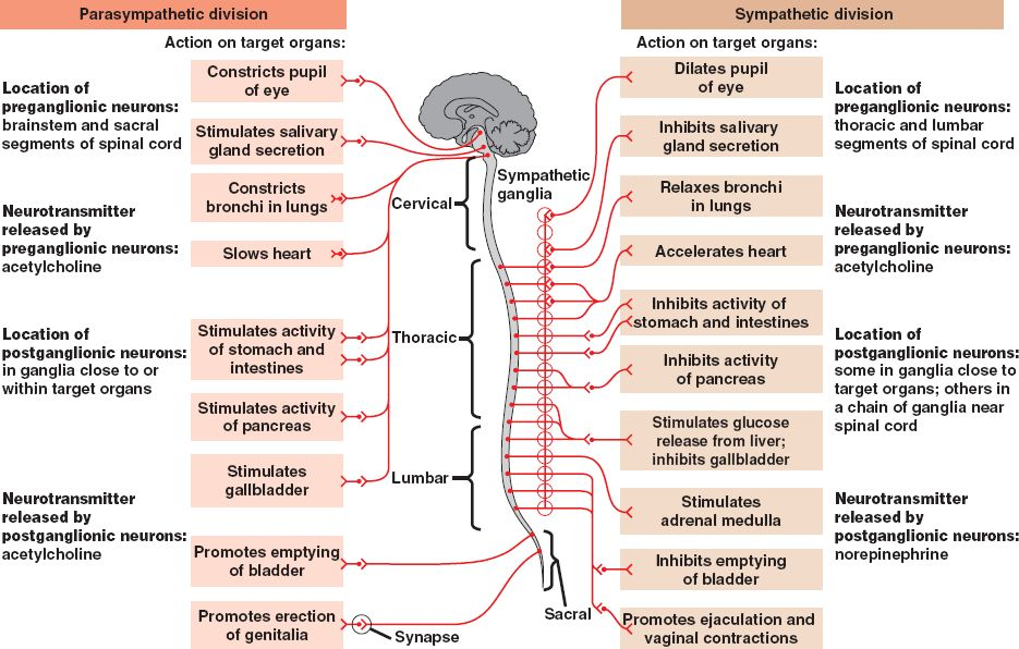 Download image Peripheral Nervous System Function PC, Android, iPhone ...