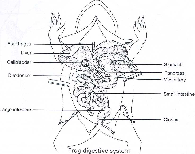 Frog Anatomy Diagram Cake Ideas And Designs