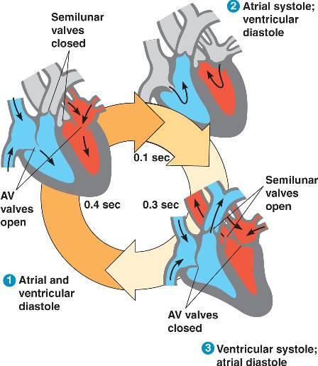 cardiac_cycle.html 42_07CardiacCycle_L.jpg